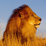 hresw2dflanimals20lionsmighty20lion1
